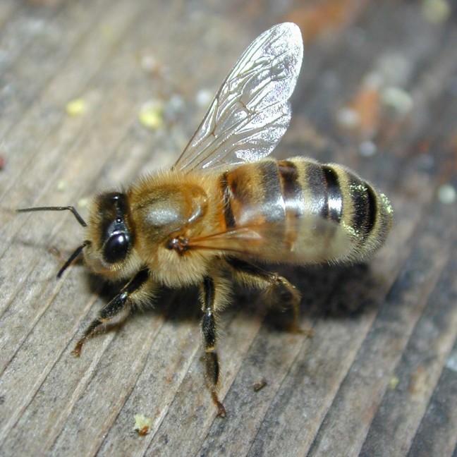 DSCN6624-bee-close_1200x1200