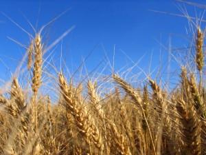 Grain-Field-e1364303431691