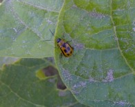 2014_bean-leaf-beetle_fig1
