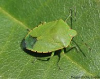 green-stink-bug-adult