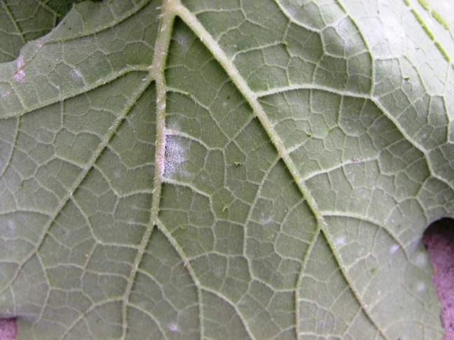 p-mildew-lower-lesion