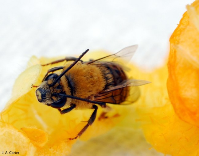 squash-bee-3-edited