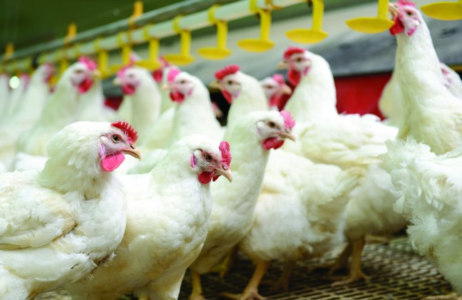 Modern chicken farm production of white meat  ** Note: Shallow depth of field