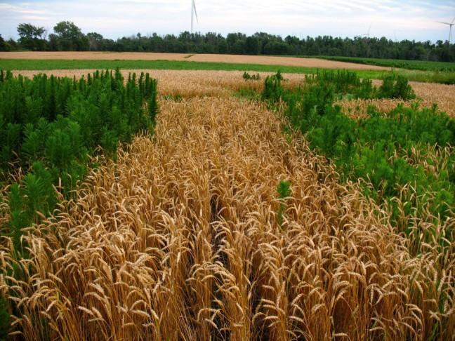 herbicide-resistance