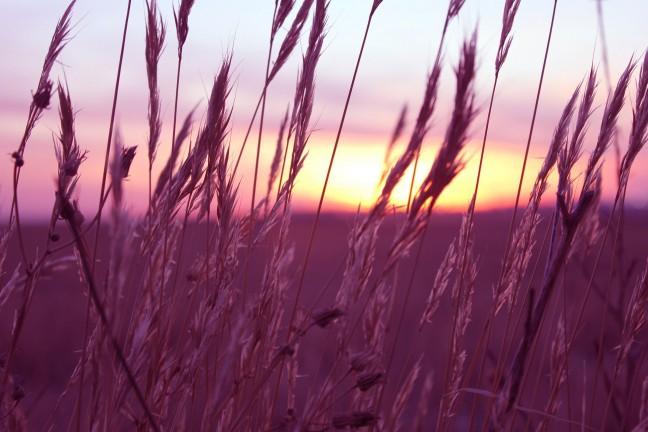 purple-wheat