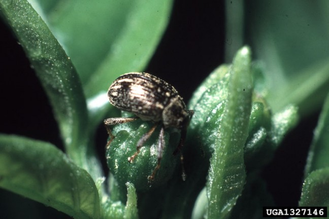pepperweevil