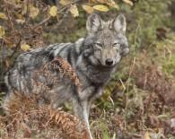 algonquin-wolf.jpg.size-custom-crop.1086x0