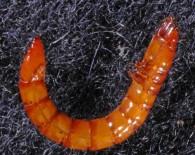 wireworm-larva-A-Schaafsma-710x399