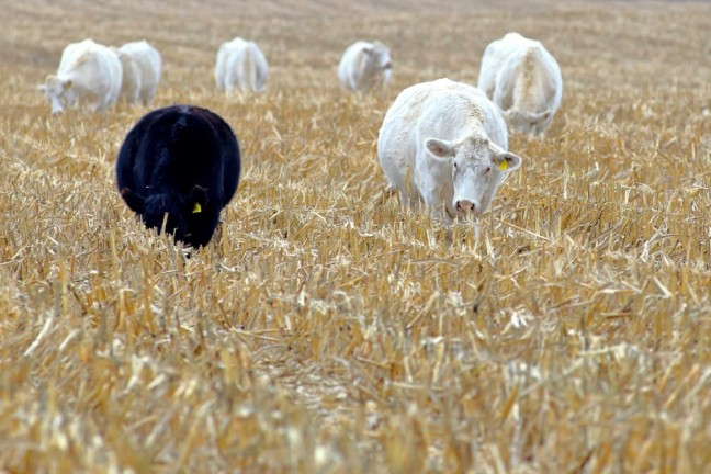 cattle-grazing-corn-900870330-chimperil59-iStock-GettyImages