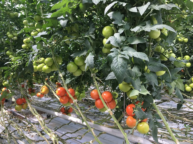 Greenhouse-tomato-vines-with-clips-web
