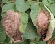 Potato-late-blight-No-halo